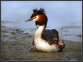 Copasti_ponirek_Great_crested_grebe_01.jpg