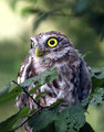 Cuk_Little_owl_01.jpg