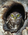 Cuk_Little_owl_02.jpg