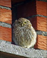 Cuk_Little_owl_03.jpg