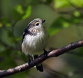 Dolgorepka_Long_tailed_tit_03.jpg