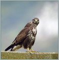 Kanja_Common_buzzard_01.jpg