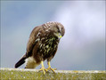 Kanja_Common_buzzard_02.jpg