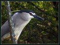 Kvakac_Night_heron_01.jpg