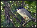 Kvakac_Night_heron_02.jpg