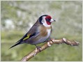 Liscek_Goldfinch_02.jpg