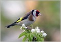 Liscek_Goldfinch_03.jpg