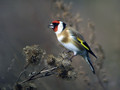 Liscek_Goldfinch_05.jpg
