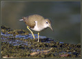 Mali_martinec_Common_sandpiper_03.jpg