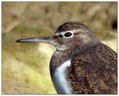 Mali_martinec_Common_sandpiper_04.jpg