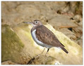 Mali_martinec_Common_sandpiper_05.jpg