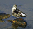 Mali_prodnik_Little_stint_01.jpg