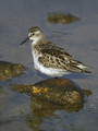 Mali_prodnik_Little_stint_02.jpg