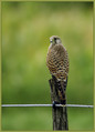 Navadna_postovka_Common_kestrel_03.jpg