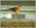 Navadna_postovka_Common_kestrel_04.jpg