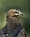 Planinski_orel_Golden_eagle_01.jpg