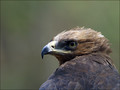 Planinski_orel_Golden_eagle_02.jpg