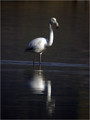 plamenec_Greater_flamingo_02.jpg