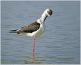 Polojnik_Black_winged_stilt_01.jpg