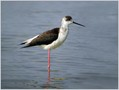 Polojnik_Black_winged_stilt_02.jpg