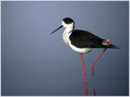 Polojnik_Black_winged_stilt_03.jpg