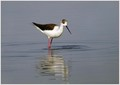 Polojnik_Black_winged_stilt_04.jpg