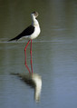 Polojnik_Black_winged_stilt_06.jpg