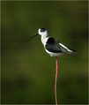 Polojnik_Black_winged_stilt_07.jpg