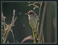 Rakar_Great_reed_warbler_03.jpg