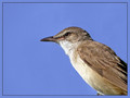 Rakar_Great_reed_warbler_04.jpg