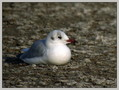 Recni_galeb_Black_headed_gull_03.jpg