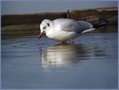 Recni_galeb_Black_headed_gull_04.jpg