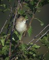 Rjava_penica_Whitethroat_01.jpg