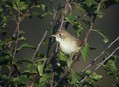 Rjava_penica_Whitethroat_02.jpg