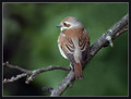 Rjavi_srakoper_Red_backed_shrike_01.jpg