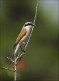 Rjavi_srakoper_Red_backed_shrike_03.jpg