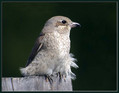 Rjavi_srakoper_Red_backed_shrike_04.jpg