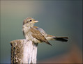 Rjavi_srakoper_Red_backed_shrike_05.jpg