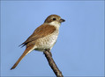 Rjavi_srakoper_Red_backed_shrike_07.jpg