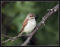 Rjavi_srakoper_Red_backed_shrike_08.jpg