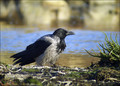Siva_vrana_Hooded_crow_01.jpg