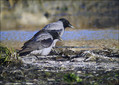 Siva_vrana_Hooded_crow_02.jpg