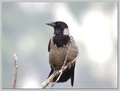 Siva_vrana_Hooded_crow_04.jpg