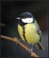 Velika_sinica_Great_tit_02.jpg