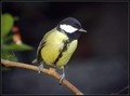 Velika_sinica_Great_tit_03.jpg