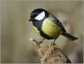 Velika_sinica_Great_tit_06.jpg
