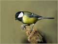 Velika_sinica_Great_tit_07.jpg