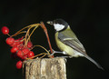 Velika_sinica_Great_tit_08.jpg