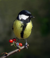 Velika_sinica_Great_tit_10.jpg
