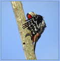 Veliki_detel_Great_spotted_woodpecker_03.jpg
